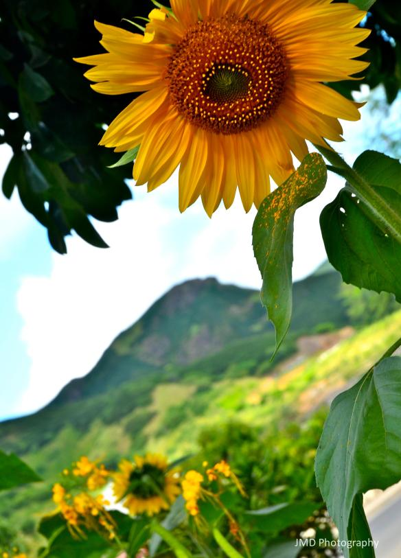 Santiago Sunflower - Santiago, Cape Verde 2012